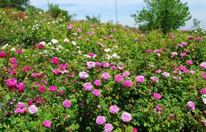 museo-rose-antiche-giardino-14-19a6f6c312