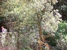 220px-eremo-delle-carceri-ulivo
