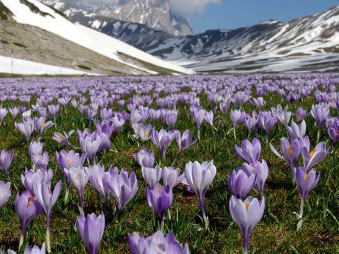 zafferano-fioritura-486
