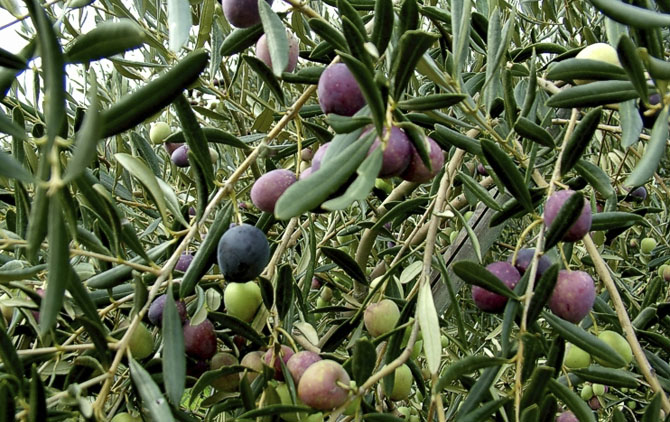 olive-e-ulivi
