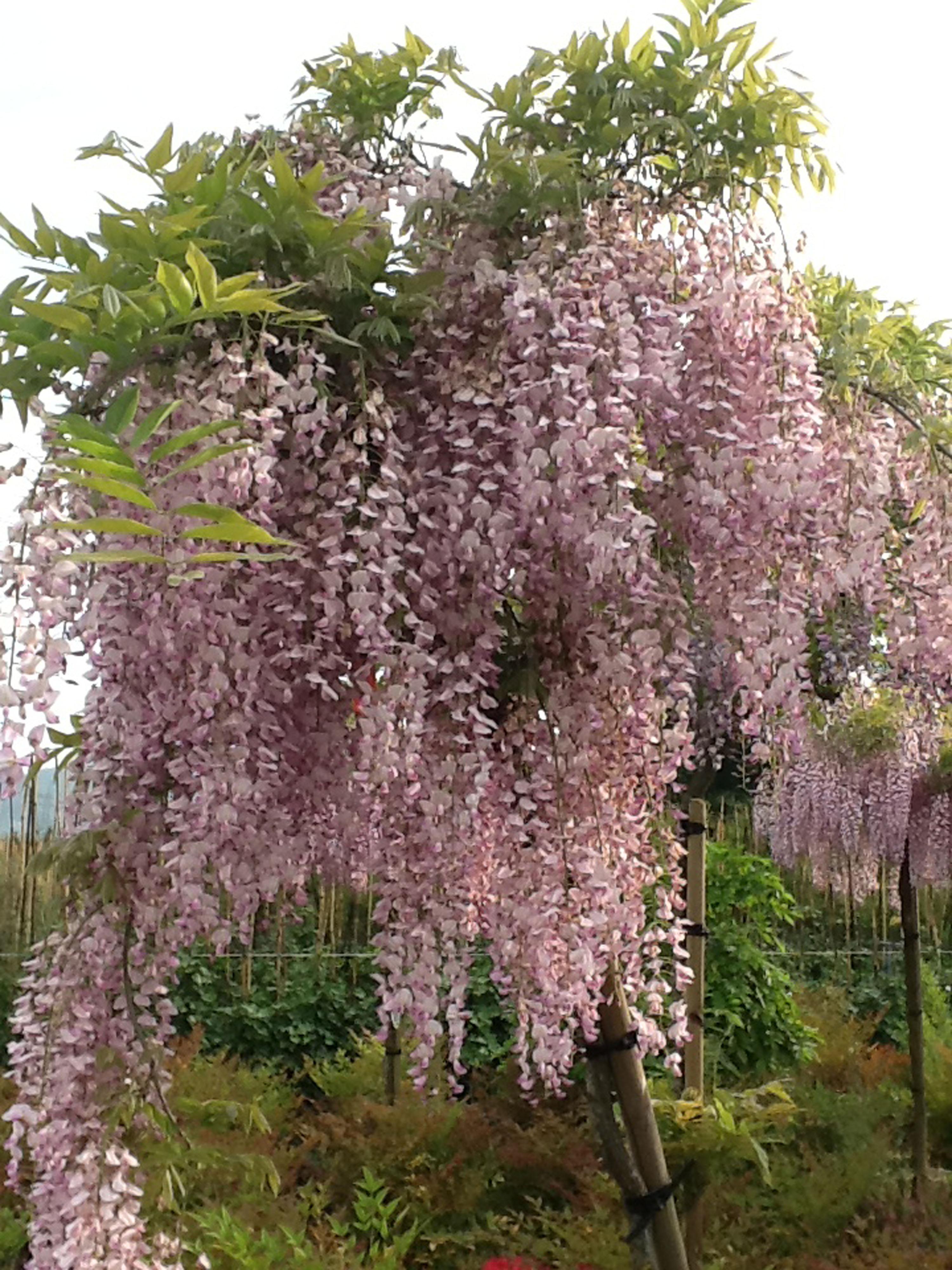 floribunda-rosea-2-
