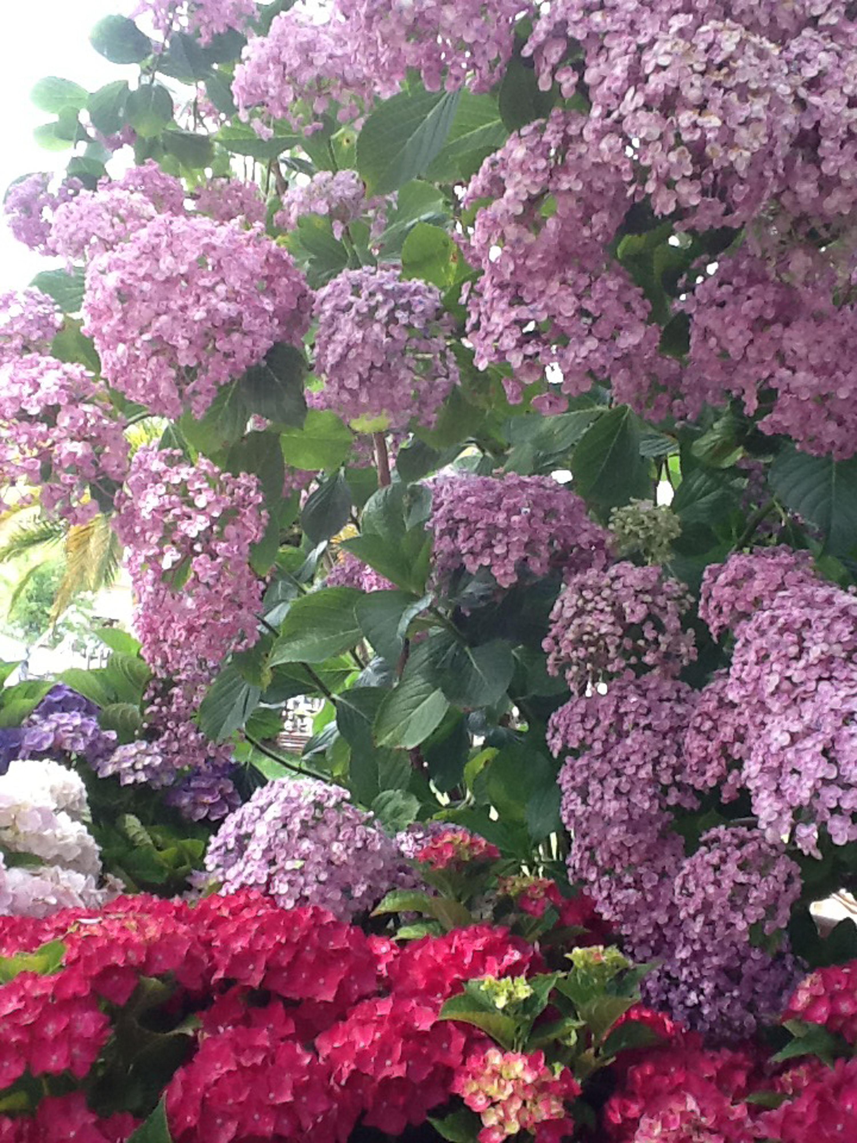 ortensia-ladre-di-piante