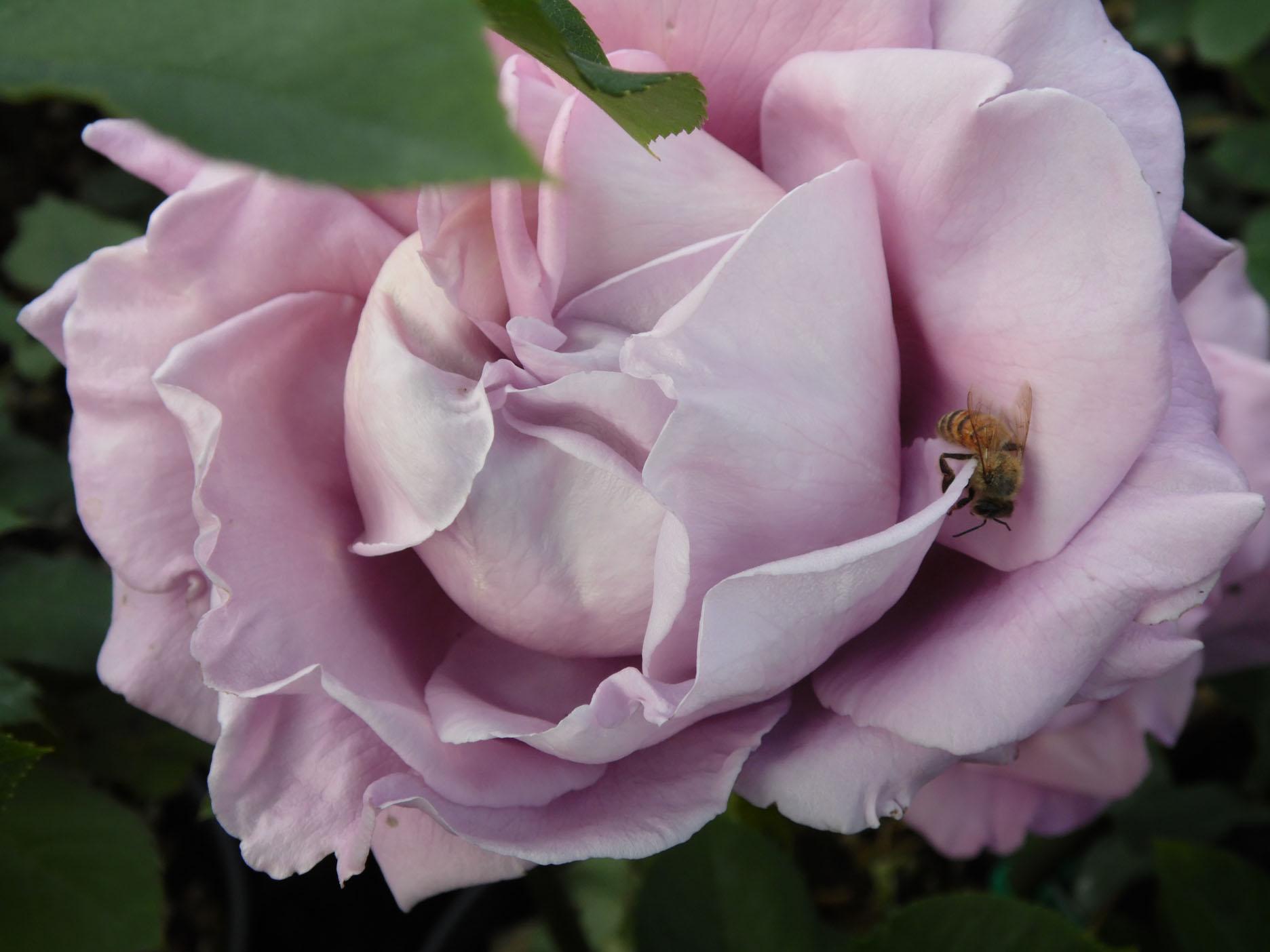 rosa-ladre-di-piante