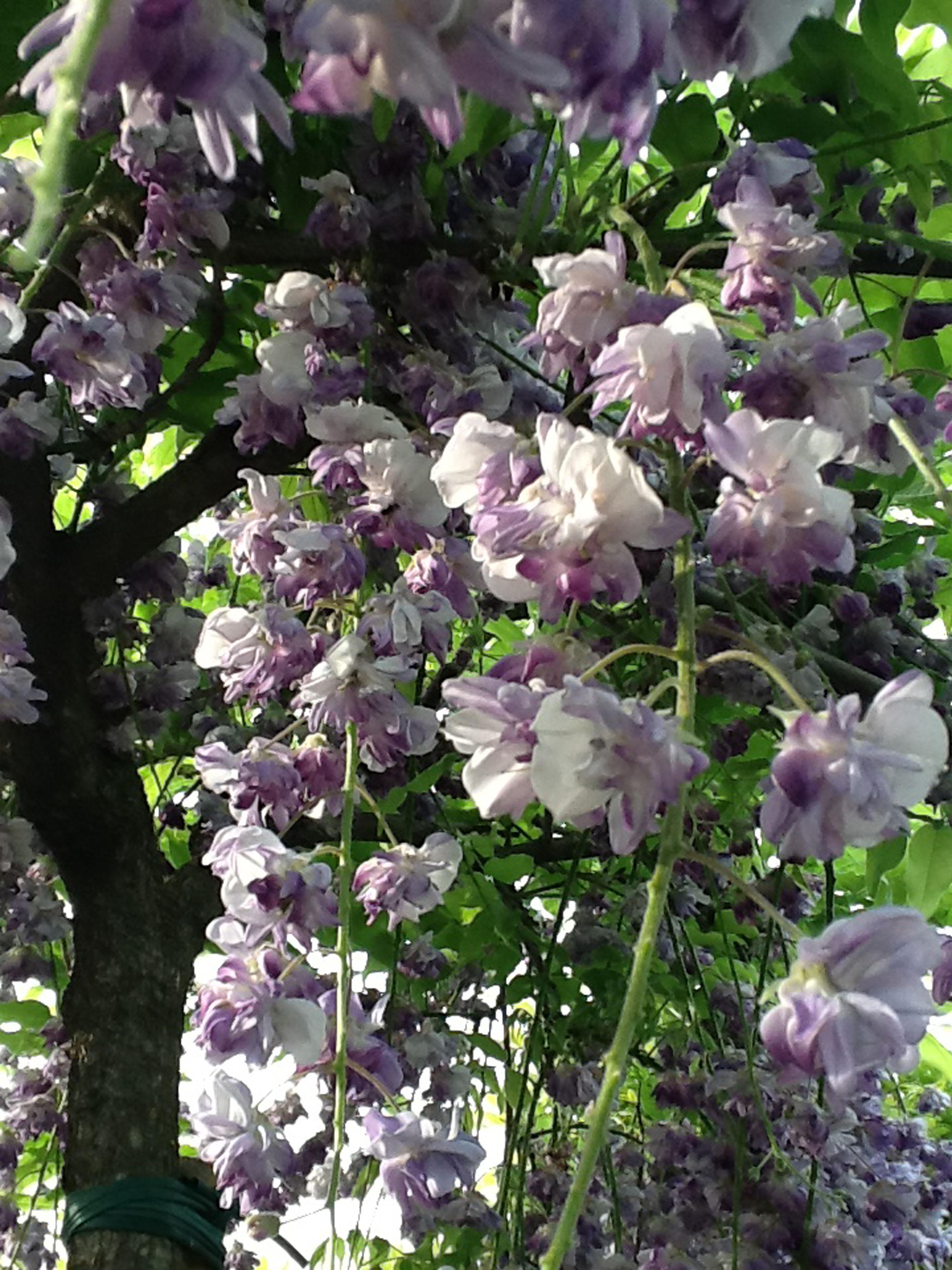 wisteria-black-dragon-3-