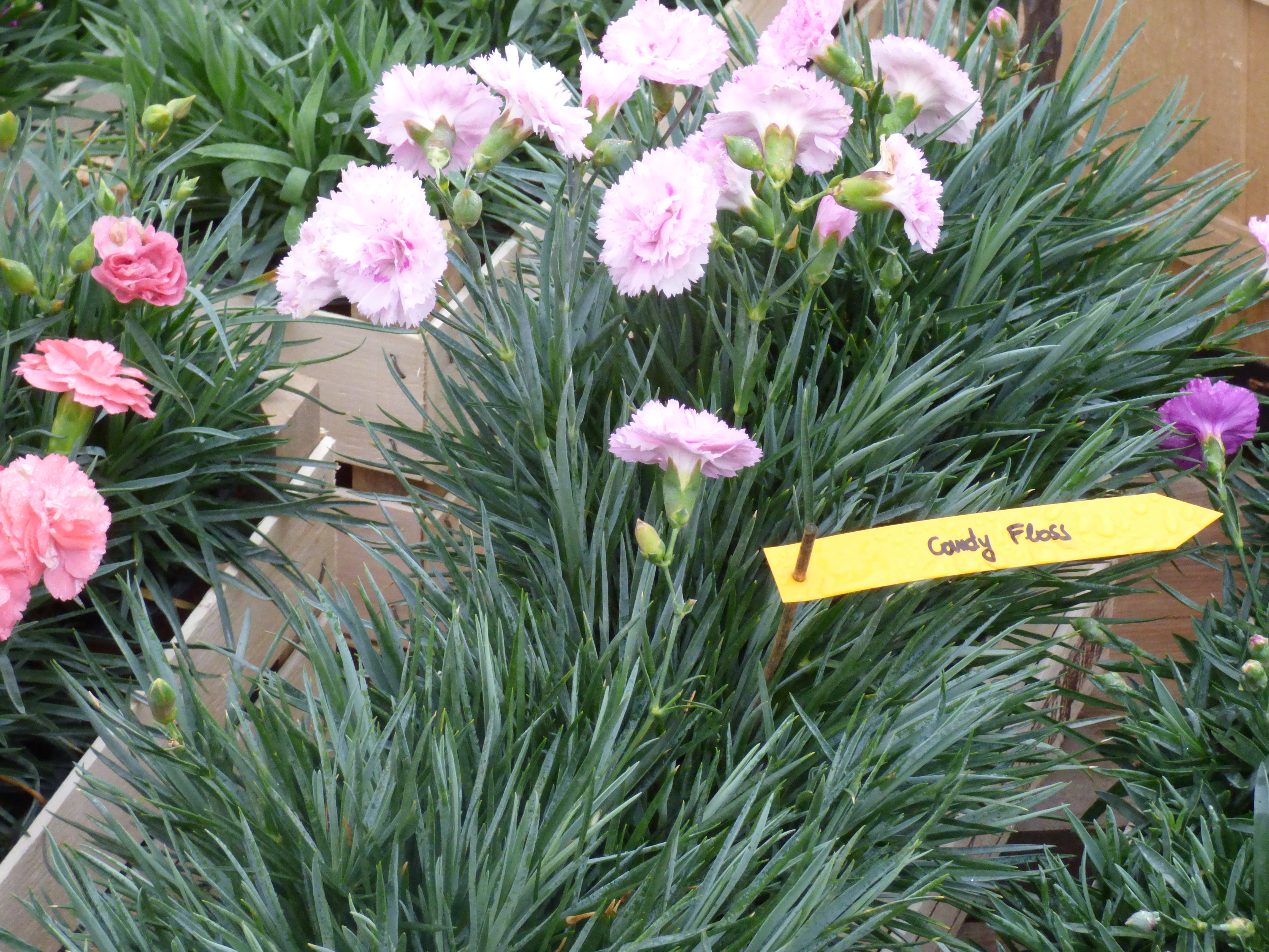 dianthus-candy-floss-