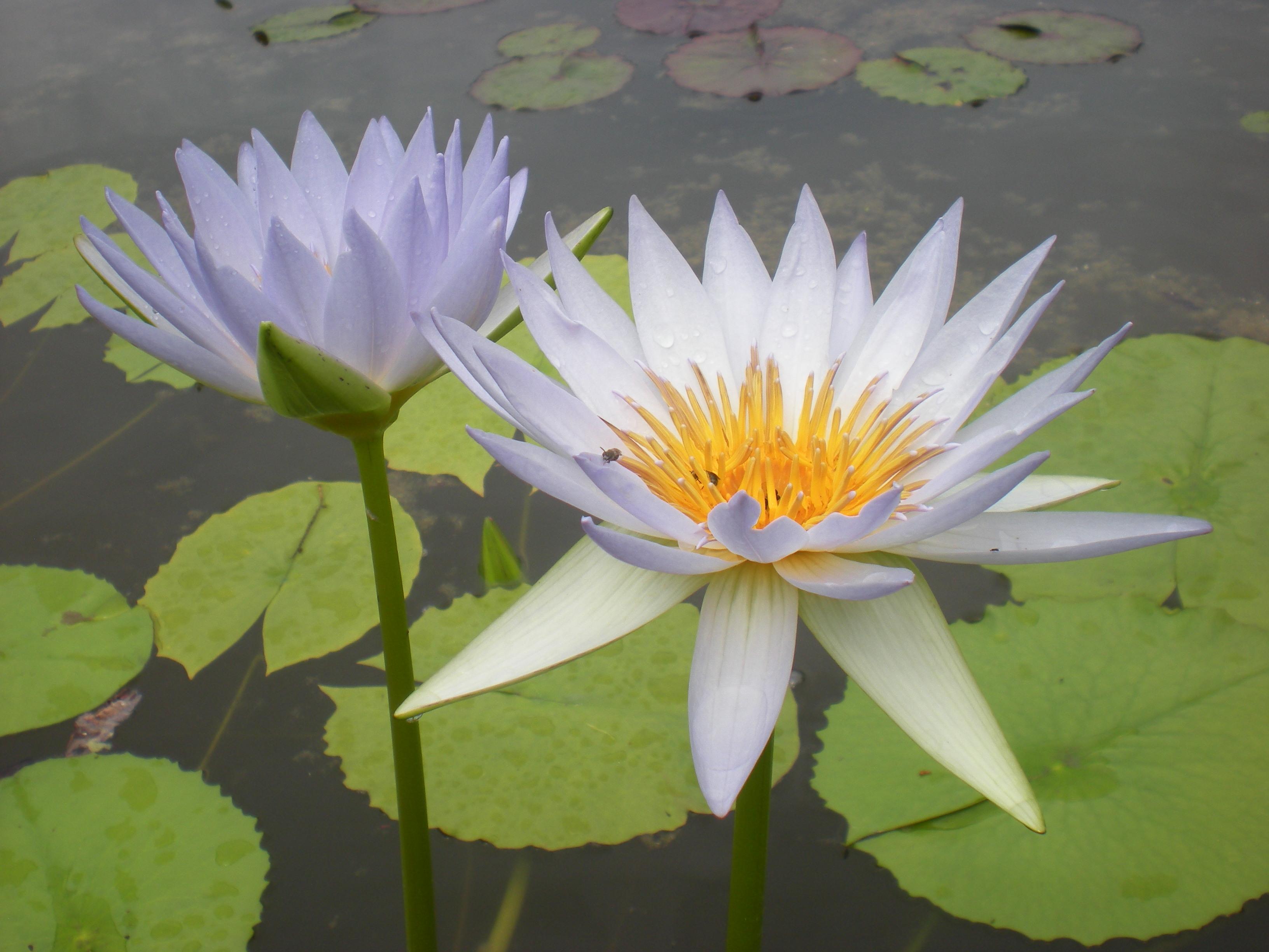 Cover Hydrophyllum Vivaio Piante acquatiche