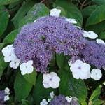 220px-hydrangea-aspera-macrophylla1ume-150x150
