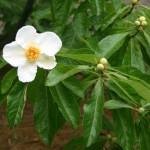 summer-franklinia-franklinia-alatamaha1-150x150
