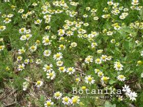 matricaria-chamomilla-280x280