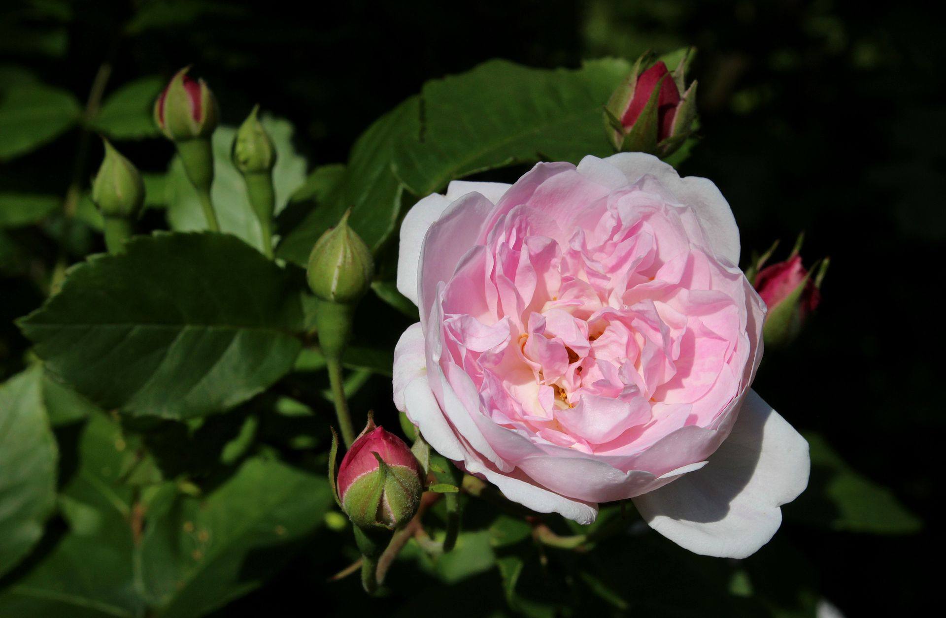 rosa-blush-noisette