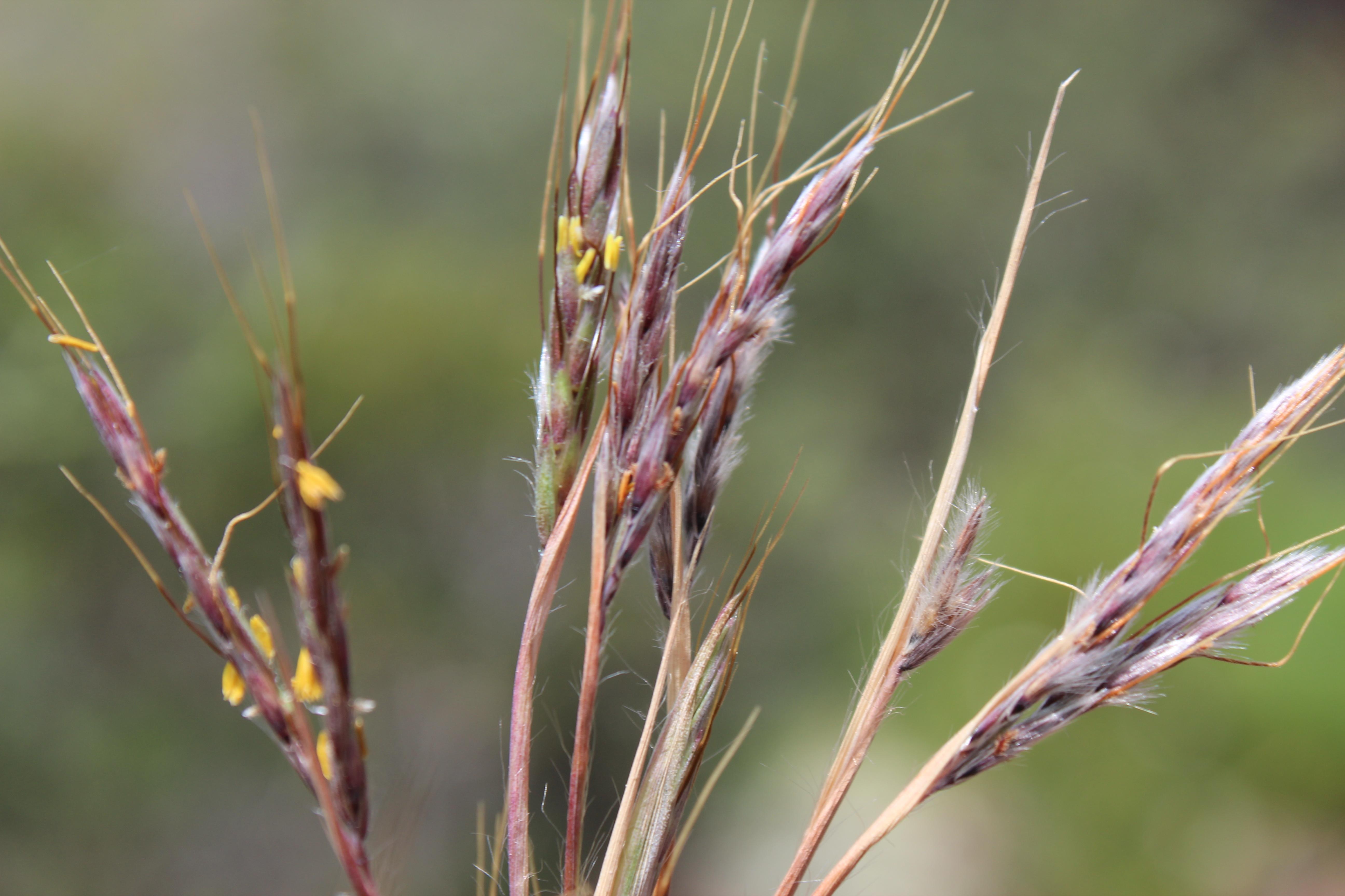 hyparrhenia-sentiero-per-rocca-corvo-da-panarea-2015-002