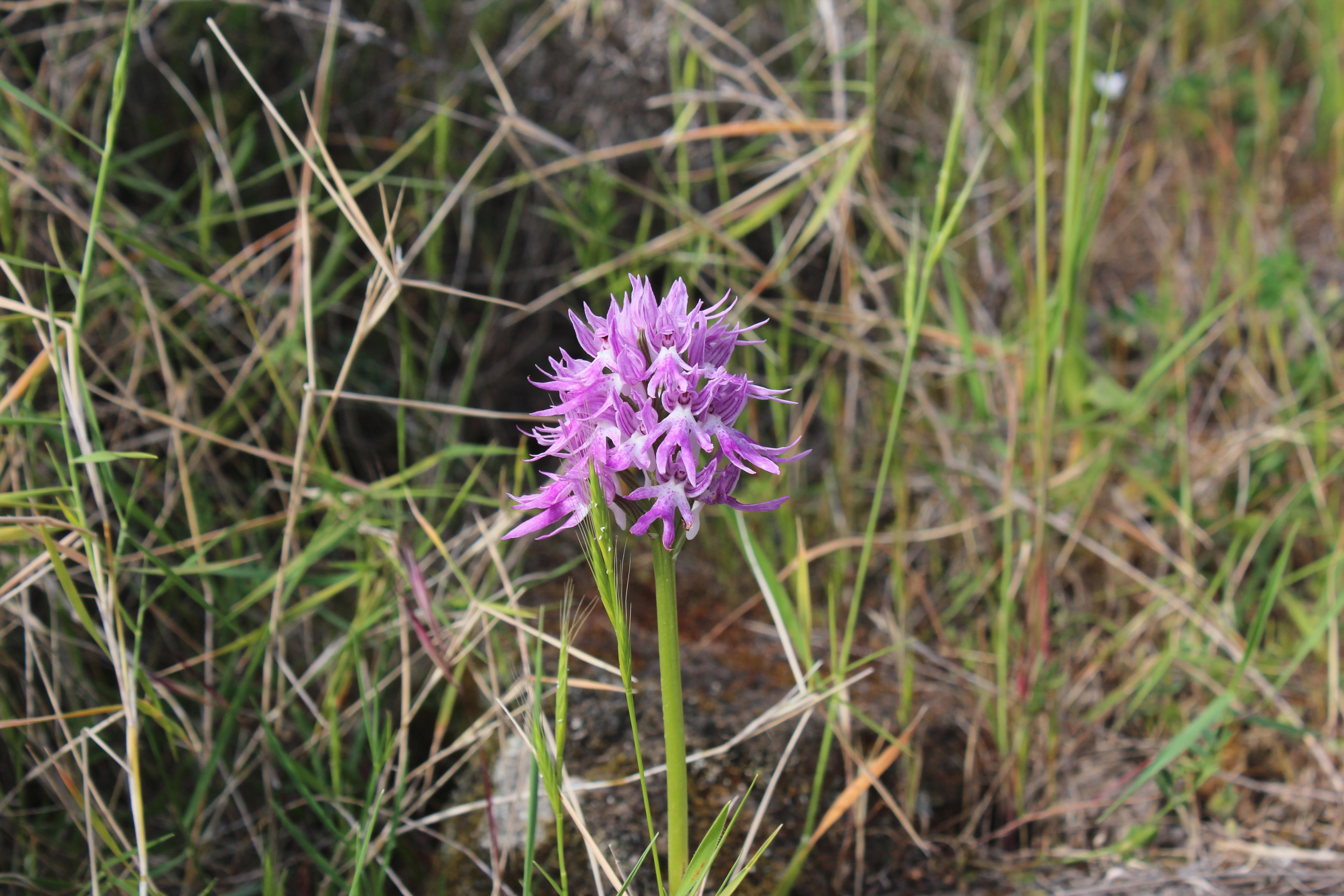 orchis-italica-sentiero-per-rocca-corvo-da-panarea-2015-001