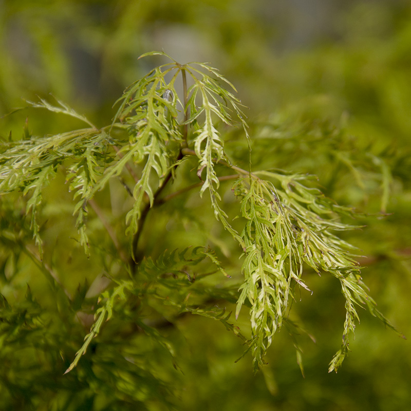 acer-dissectum-green-iace