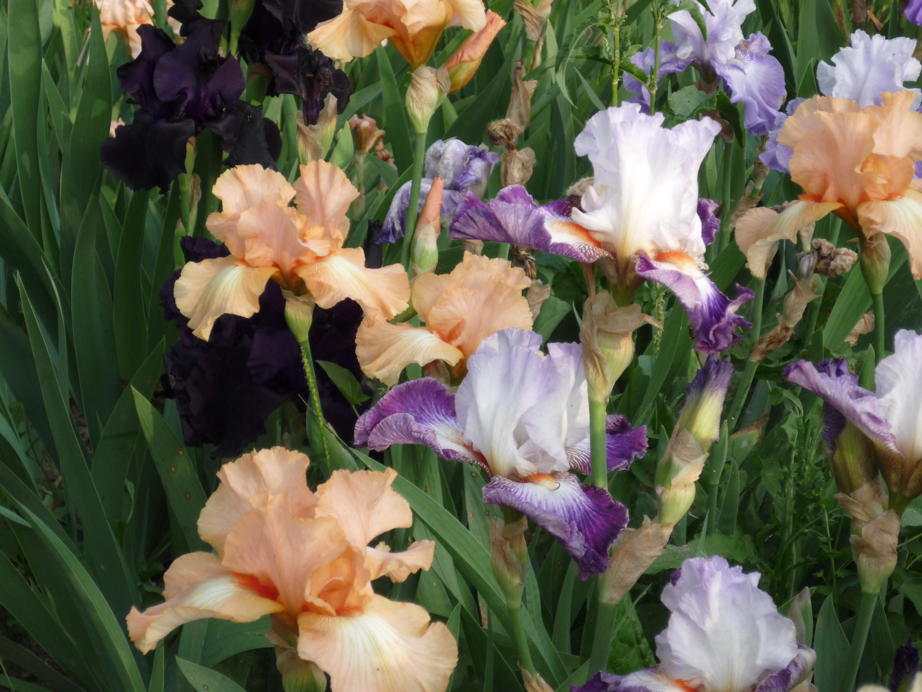 iris-in-varietc3a0-2015