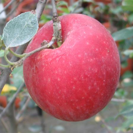 mela-rossafirenze