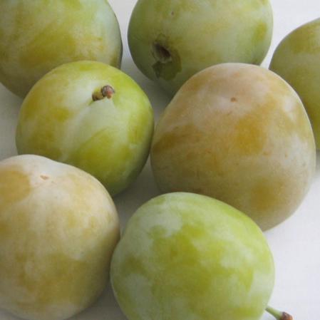 susina-regina-claudiaverde