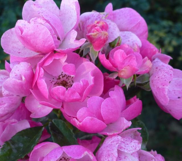 vivaverde-rosa-angela