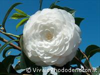 Cover Vivaio Rhododendron
